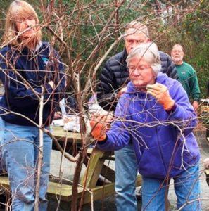 Volunteers demonstrate how to prune blueberries.