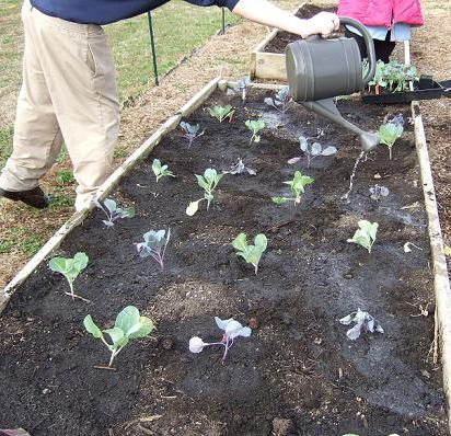 student waters cabbages in raised bed