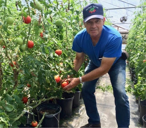 man with tomato plants