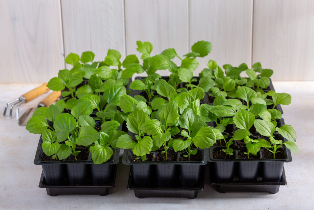 tray of flower seedlings