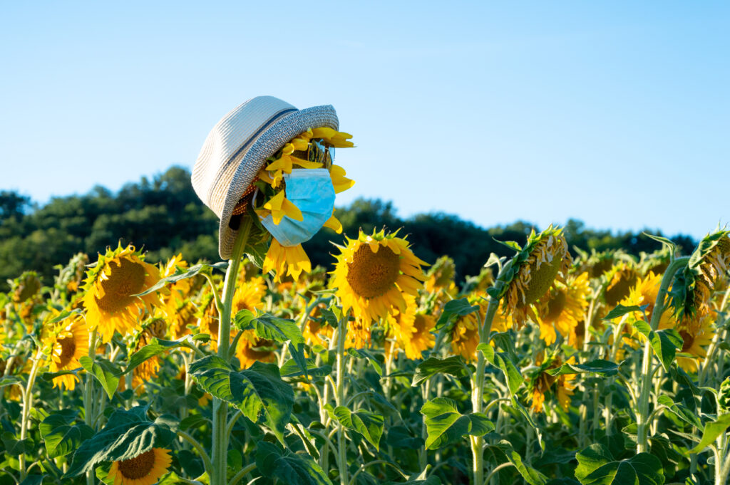field of sunflowers, one wearing a disposable face mask and sun hat